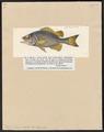 Dules caudavittatus - 1817-1841 - Print - Iconographia Zoologica - Special Collections University of Amsterdam - UBA01 IZ13000096.tif