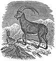 EB1911 Ibex (Capra ibex).jpg