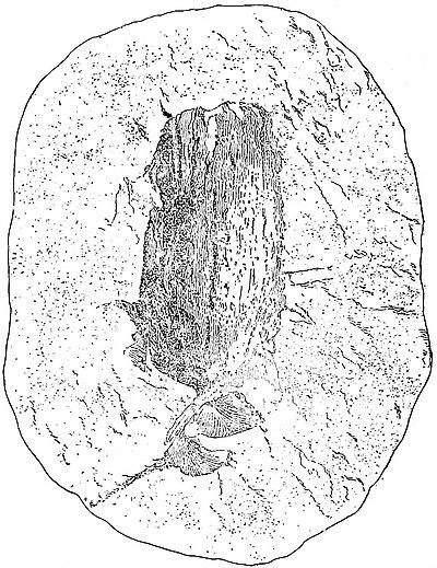 1911 Encyclopdia Britannicapalaeobotany