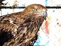 Eagle عقاب 14.jpg