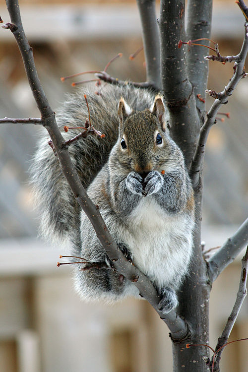 Eastern Gray Squirrel December.jpg