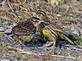 Eastern Meadowlark RWD4.jpg