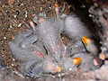 Eastern Rosella chicks444.jpg
