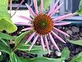 Echinacea purpurea Rubinstern 1zz.jpg