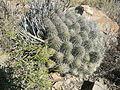 Echinocereus stramineus (5729767626).jpg