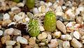 Echinopsis pachanoi einjährig.jpg