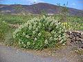 Echium decaisnei purpuriense 001.JPG