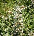 Echium italicum (30842952838).jpg