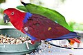 Eclectus Parrot Kuranda-2 (6288208623).jpg