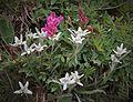 Edelweiss en Vanoise (1).JPG