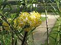 Edgeworthia chrysantha (16611818016).jpg