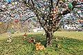 Eierbaum in Saalfeld Saale.Thüringen IMG 0005WI.jpg