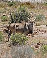 Eland (Taurotragus oryx) male (31739968593).jpg