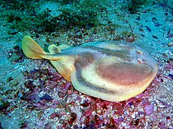 Electric ray Narke capensis P9111264.JPG