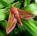 Elephant Hawkmoth. Deilephila elpenor - Flickr - gailhampshire (5).jpg