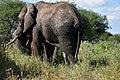 Elephants, Tarangire National Park (37) (28080828724).jpg