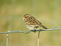 Emberiza pusilla Harrington Burn 5.jpg