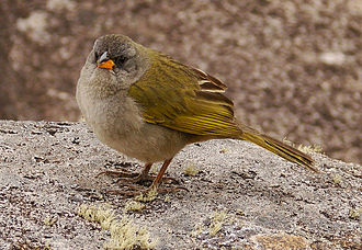 Pampa finch - Image: Embernagra platensis