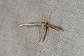 Emmelina monodactyla (35569311994).jpg