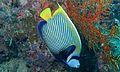Emperor Angelfish (Pomacanthus imperator) (6129974503).jpg