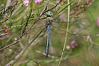 Emperor dragonfly (Anax imperator) male 2.jpg