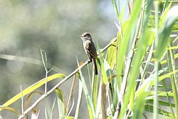 Empidonax albigularis.jpg