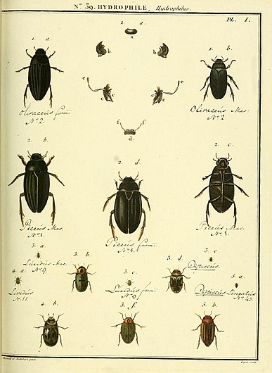 Entomologie, ou, Histoire naturelle des insectes (No. 39 Hydrophile Pl. I) (8112702093).jpg