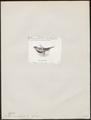 Eos semilarvata - 1872 - Print - Iconographia Zoologica - Special Collections University of Amsterdam - UBA01 IZ18500322.tif