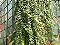 Epidendrum radicans 2.JPG