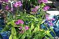 Epidendrum radicans Purple Star 1zz.jpg