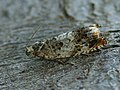 Epinotia subocellana (41225393012).jpg