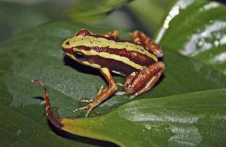 Epibatidine - Epipedobates tricolor on a leaf