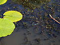 Epping Forest Visitor Centre High Beech Essex England ~ pond 02.JPG