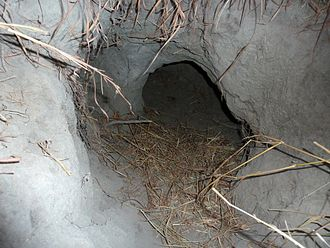Aardvark - Entrance to a burrow