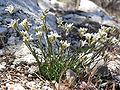 Eremogone congesta var charlestonensis 1.jpg