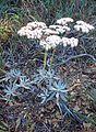 Eriogonum blissianum kz1.jpg