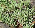 Eriogonum heracleoides 1.jpg