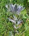 Eryngium alpinum RF.jpg