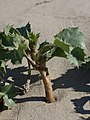 Eryngium maritimum kz02.jpg