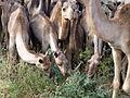 Ethiopie-Dromadaires entre Debre Birham et Kombolcha (5).jpg