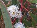 Eucalyptus haemastoma E.haemastoma IMG 4535 (5771504050).jpg