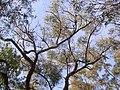 Eucalyptus sparsifolia Turramurra.jpg