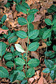 Euonymus fortunei 2307141.jpg
