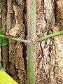 Euonymus fortunei 3.JPG