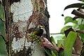 Euphonia-gouldi-2.jpg
