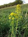 Euphorbia cyparissias sl6.jpg
