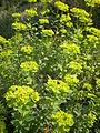 Euphorbia hierosolymitana 2c.JPG
