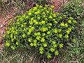 Euphorbia hyberna (9583678746).jpg