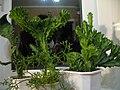 Euphorbia lactea cristata Ukraine 2.jpg