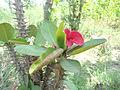 Euphorbia milii red colour 2.JPG